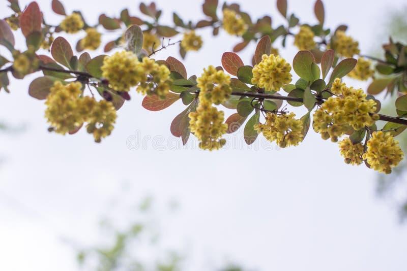 Weichzeichnung sch?ner Fr?hlingsblumen Berberis thunbergii Atropurpurea-Bl?te Makro von kleinen gelben Blumen der Berberitzenbeer stockbilder