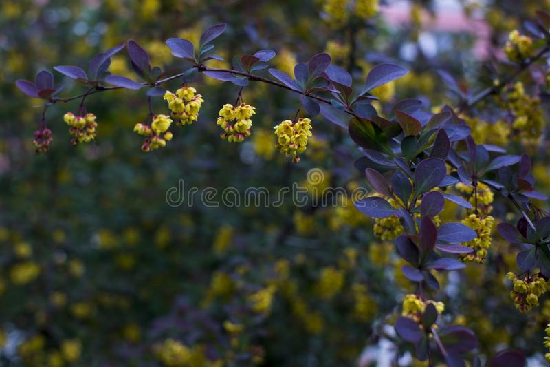 Weichzeichnung sch?ner Fr?hlingsblumen Berberis thunbergii Atropurpurea-Bl?te Makro von kleinen gelben Blumen der Berberitzenbeer stockbild