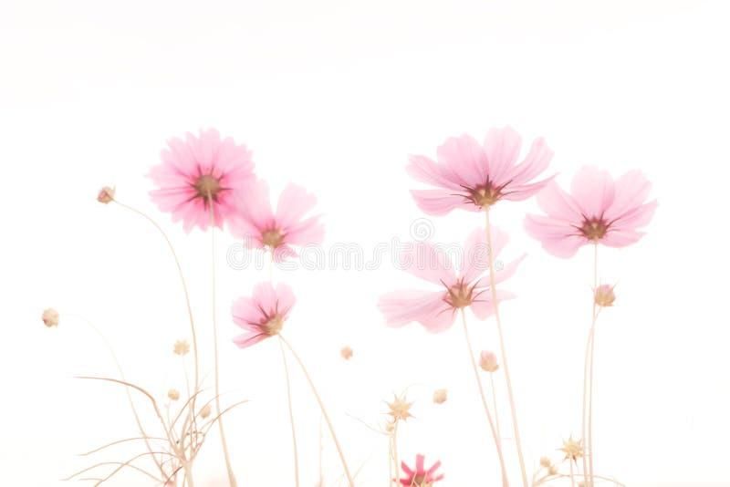 Weichzeichnung und unscharfe Kosmosblume stockfotografie