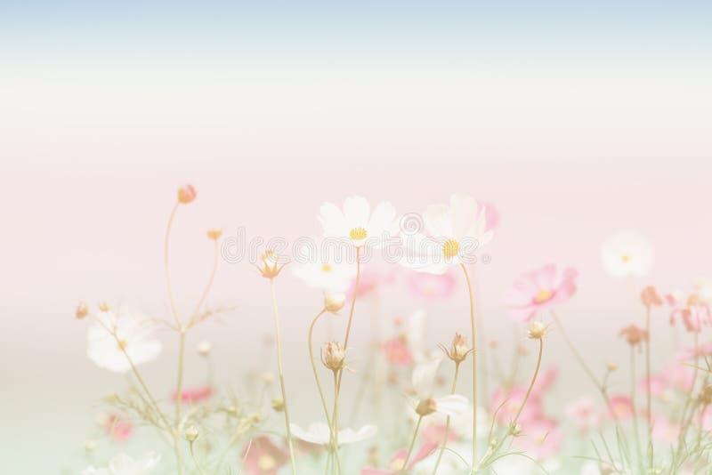 Weichzeichnung und unscharfe Kosmosblumen auf Pastellfarbart für stockbilder