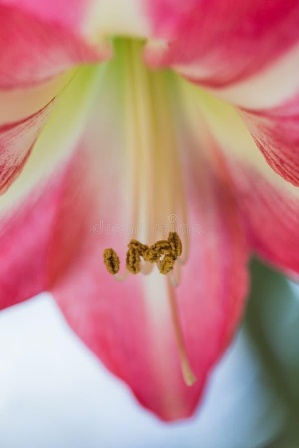 Weichzeichnungsbild von volle Blüte rosa amarylis Blumen lizenzfreies stockbild