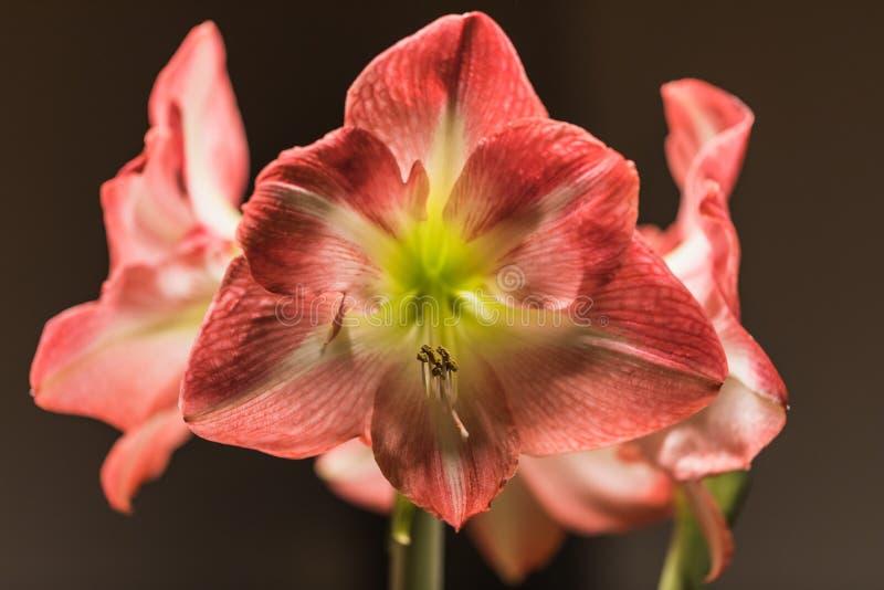 Weichzeichnungsbild von volle Blüte rosa amarylis Blumen lizenzfreie stockbilder