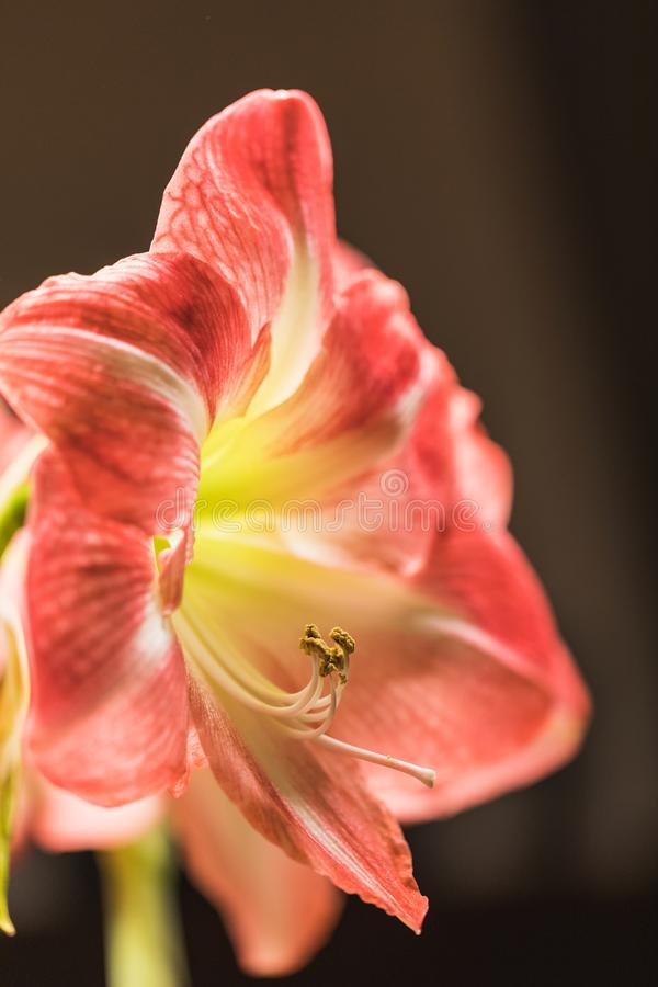 Weichzeichnungsbild von volle Blüte rosa amarylis Blumen stockbilder