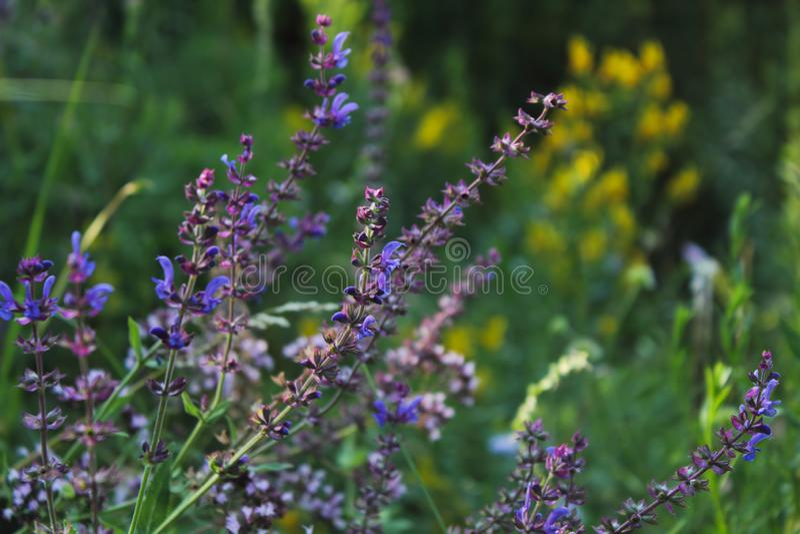 Weide Clary, Weidesalie, Salvia-pratensis Mooie purpere bloemen op wilde weide Geneeskrachtig kruid royalty-vrije stock foto