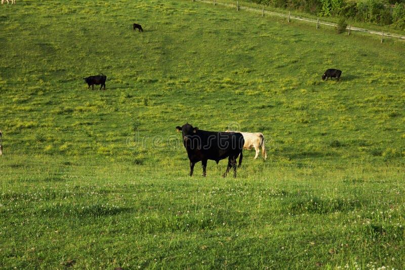 Weide gezüchtete Kuh am Feld lizenzfreies stockfoto