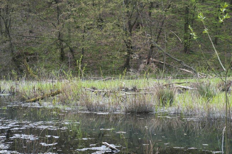 Weide met bomen door bevers worden verminderd die stock afbeeldingen