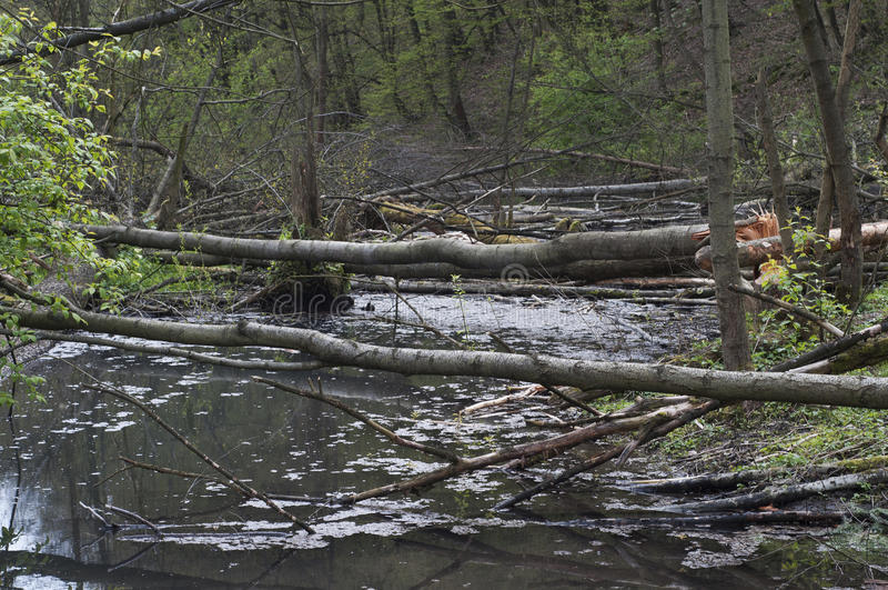 Weide met bomen door bevers worden verminderd die royalty-vrije stock foto