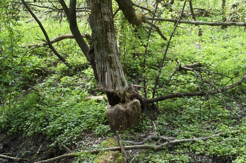 Weide met bomen door bevers worden verminderd die royalty-vrije stock afbeelding