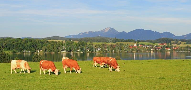 Weide met het weiden van koeien, idyllische landschapsriegsee, Beieren royalty-vrije stock foto's