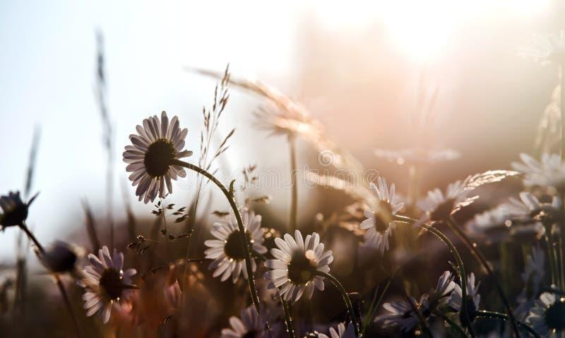 Weide met madeliefjes door helder zonlicht worden aangestoken dat royalty-vrije stock foto