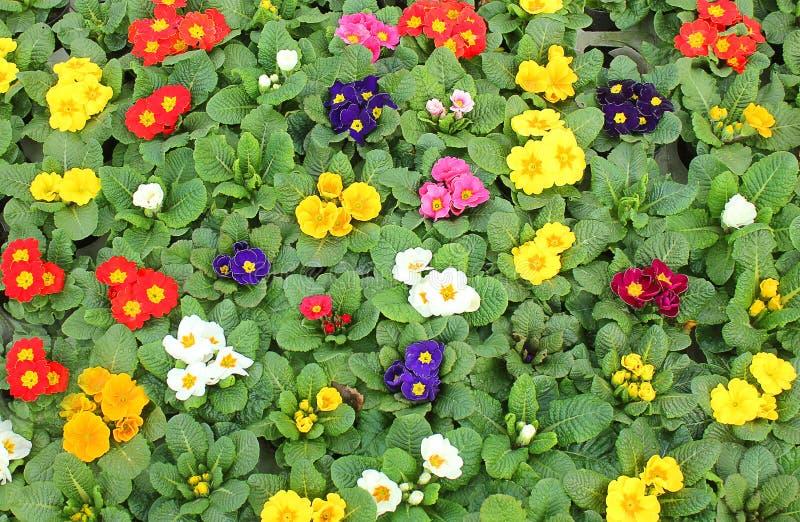 Weide met sleutelbloemen in de lente stock foto's