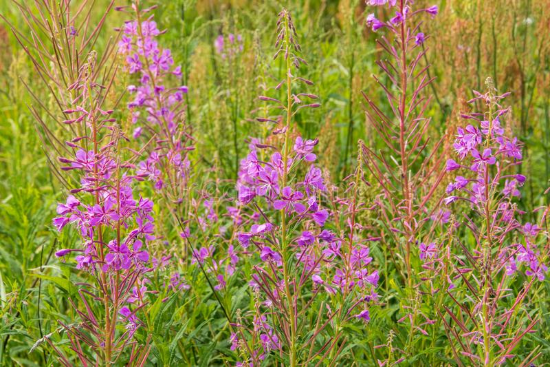 Weide van bloesemwilgeroosje Gebied van de roze bloeiende bloemen van Sally stock foto's