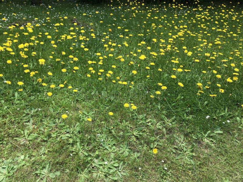 Weide van gele madeliefjes in Golders groen Londen stock fotografie