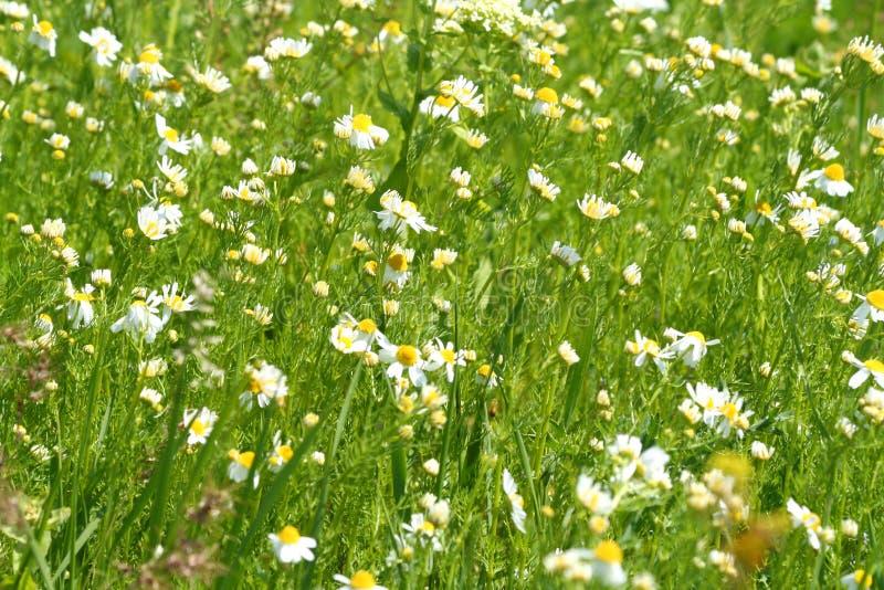 Weide/Wilde Bloemen/de zomerachtergrond stock fotografie