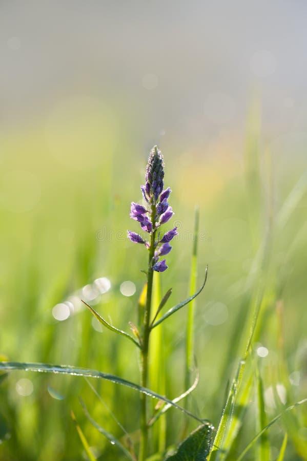 Weidebloem met dauw stock fotografie