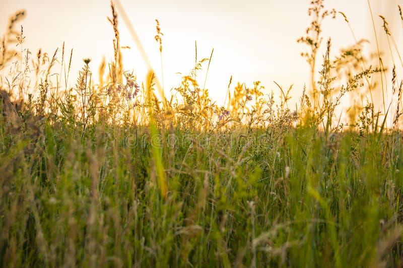 Weideinstallaties in de stralen van een zonsondergang stock afbeeldingen