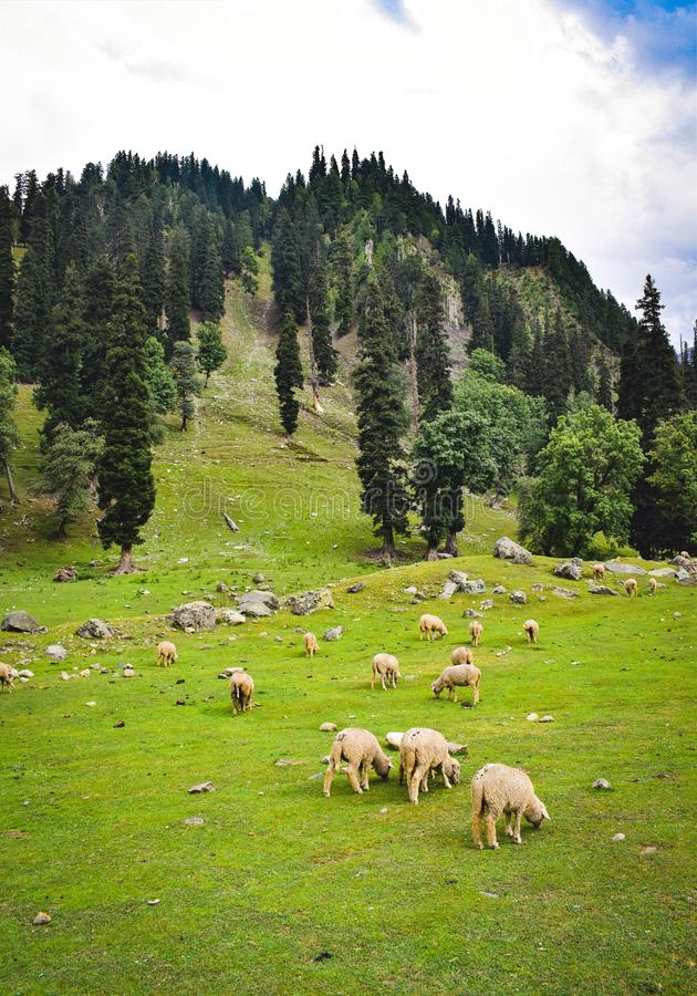 Weiden lassen in den Wiesen Völker von den Schafen, die im Himalaja weiden lassen Grüner Himalaja ist Quelle vieler Betriebsmitte lizenzfreie stockbilder