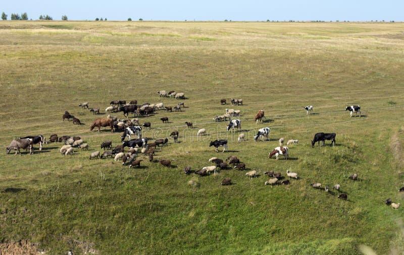 Weiden lassen der Herde der Kühe und der Schafe lizenzfreie stockfotos