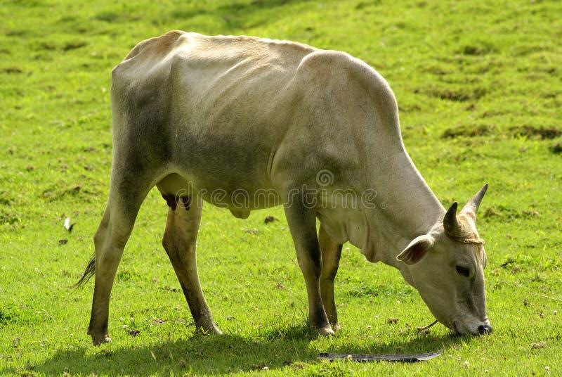 Weiden lassen der Kuh stockfoto
