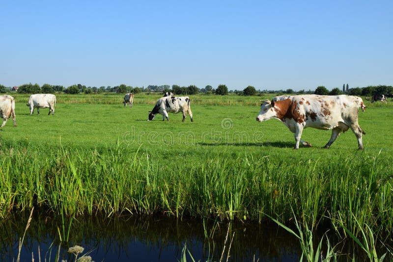 Weiden lassen der Kuh lizenzfreie stockfotos