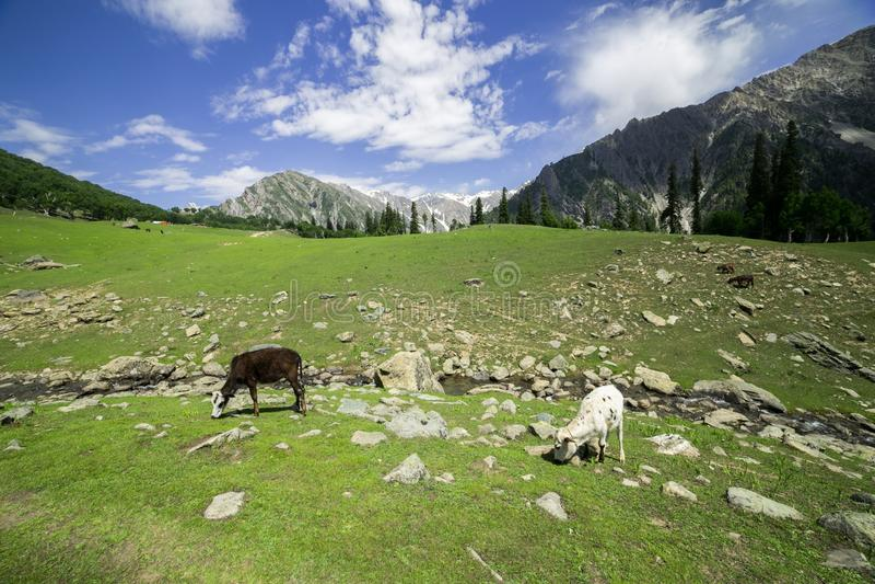 Weiden lassen der Kuh in den Bergen stockbild
