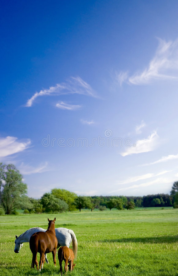 Weiden lassen der Pferde lizenzfreies stockfoto