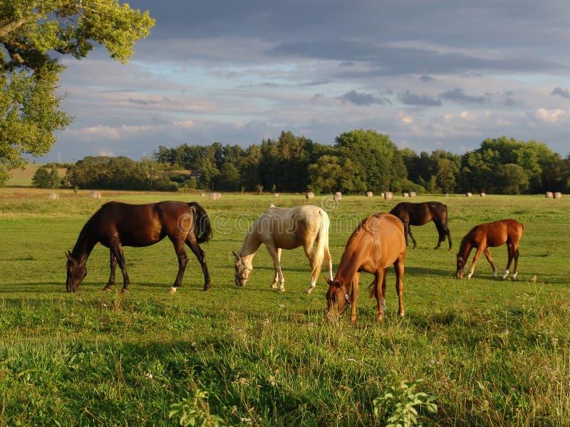 Weiden lassen der Pferde auf dem Feld stockbild