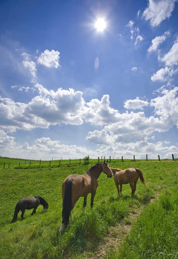 Weiden lassen der Pferde, helles Tageslicht, Weitwinkel stockbild