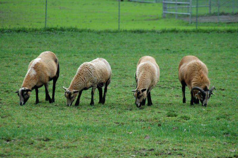 Weiden lassen der Schafe stockbilder