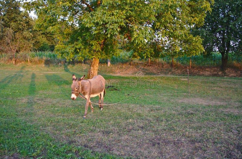 Weiden lassen des Esels lizenzfreie stockbilder