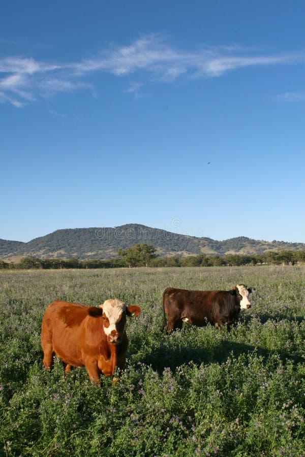Weiden lassen des Viehs lizenzfreie stockfotografie