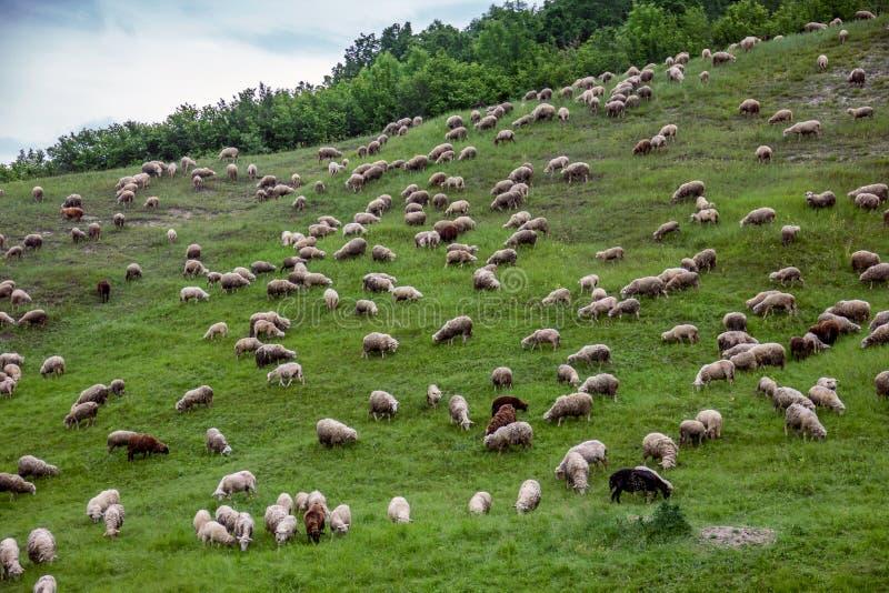 Weiden lassen von den Schafen, die Gras essen lizenzfreies stockbild