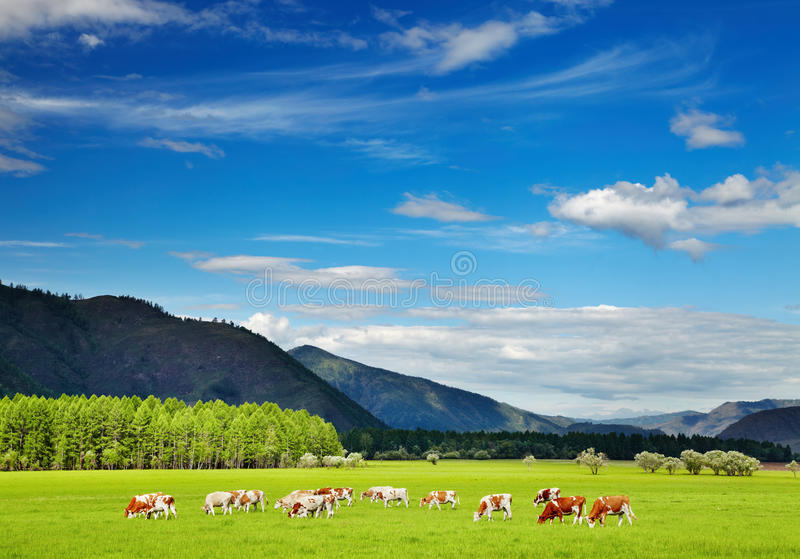Weiden lassen von Kühen stockbilder