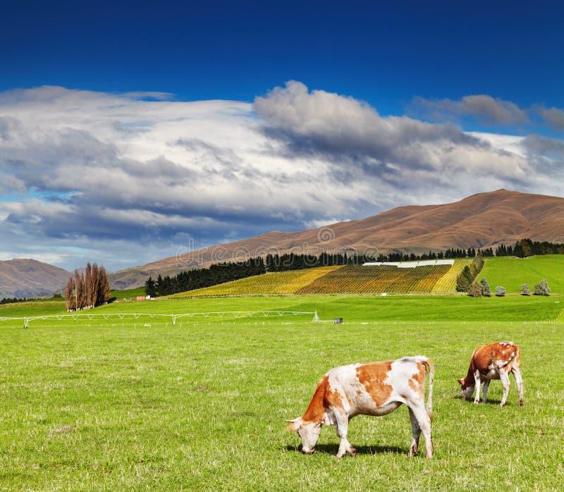Weiden lassen von Kühen am grünen Feld stockfoto
