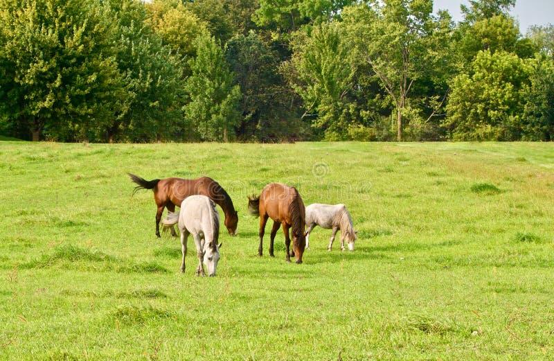 Weiden lassen von Pferden auf einem grünen Gebiet lizenzfreie stockbilder