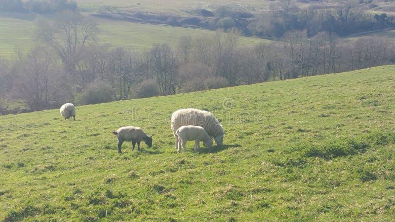 Weiden lassen von Schafen stockbild