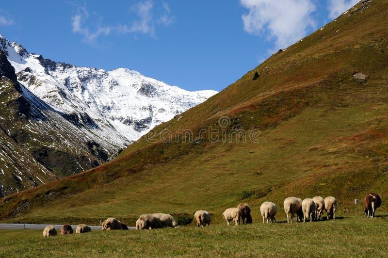 Weiden lassen von Schafen in der wunderbaren Landschaft lizenzfreies stockfoto