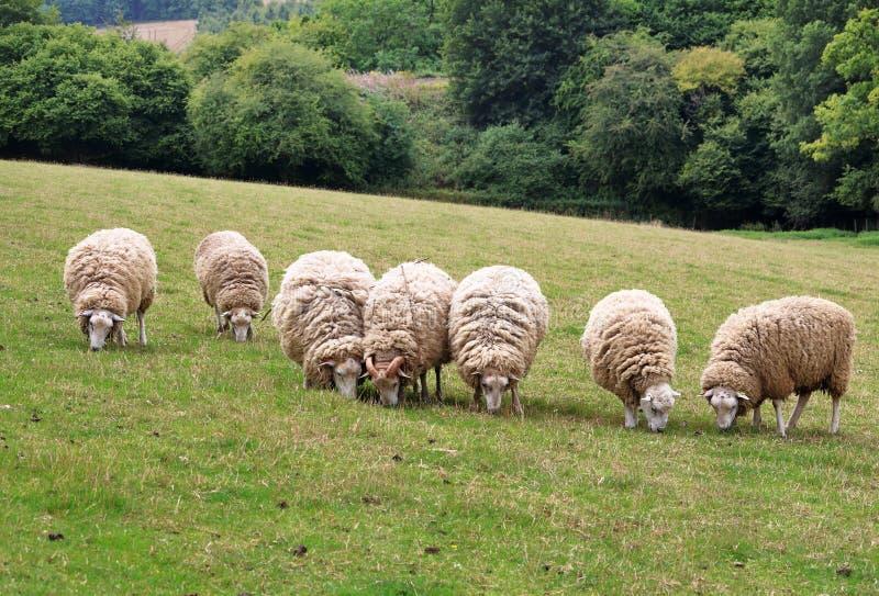 Weiden lassen von Schafen in einer englischen ländlichen Landschaft stockbild