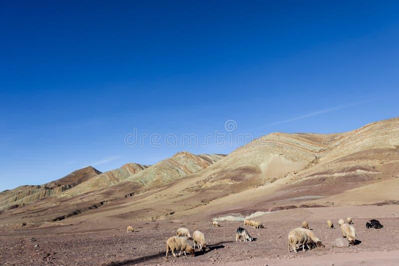 Weiden lassen von Schafen und von Ziegen auf steinigen Grundebenen stockfotos