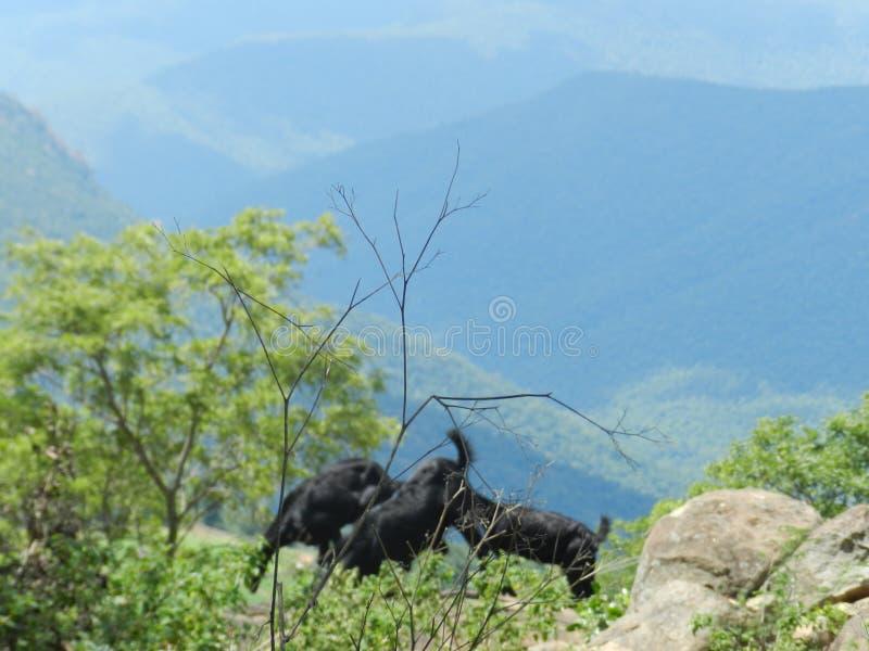 Weiden lassen von Ziegen mitten in dichtem Wald stockfotos