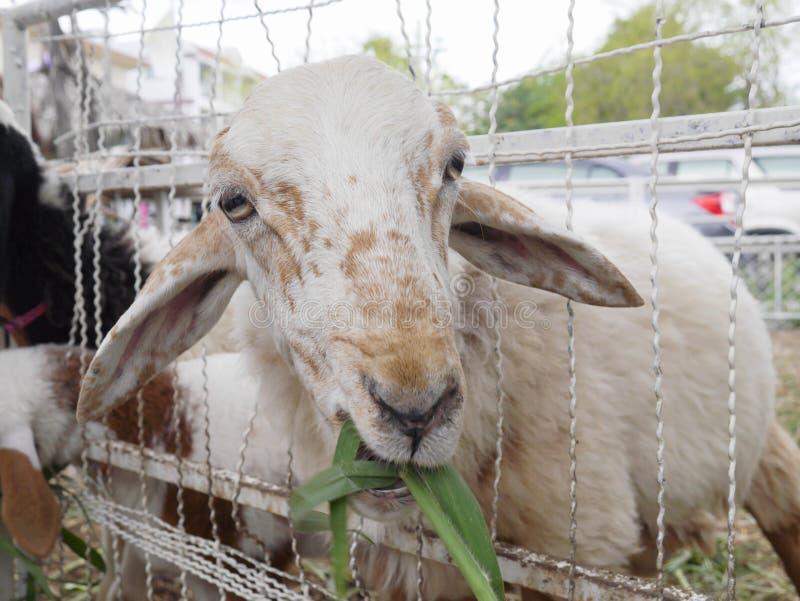 Weiden lassende Schafe lizenzfreies stockfoto
