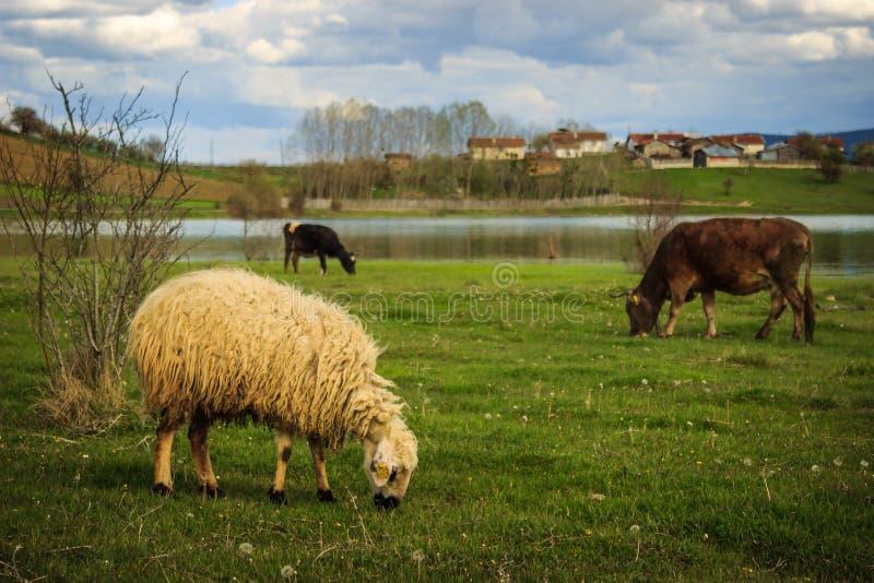 Weiden lassende Schafe und Kühe lizenzfreie stockfotografie