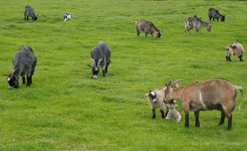 Weiden lassende Ziegen stockfoto