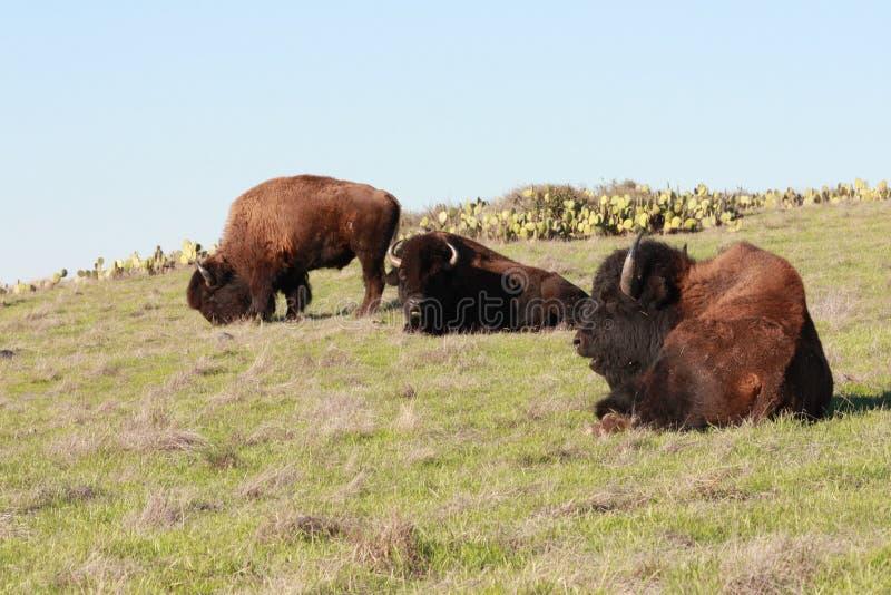 Weiden lassender Büffel lizenzfreie stockfotos