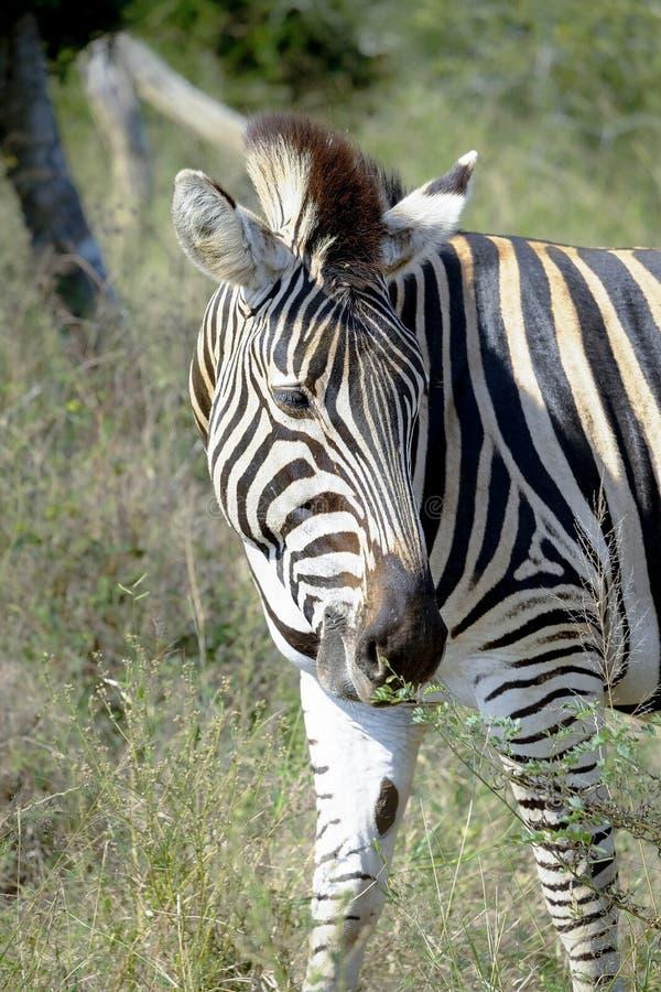Weiden lassender Zebra stockfotos