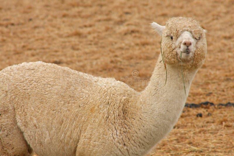 Weiden lassendes Lama lizenzfreies stockbild
