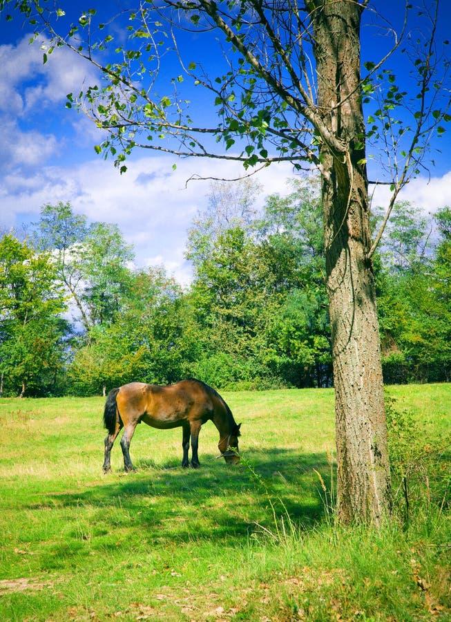 Weiden lassendes Pferd stockfotografie