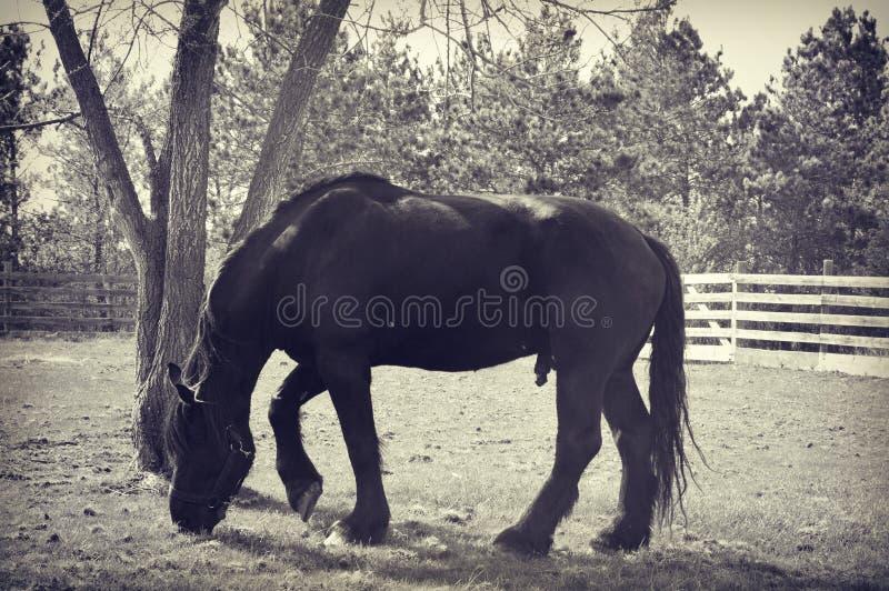 Weiden lassendes Pferd stockfotos