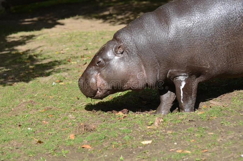 Weiden Pygmy Hippo die Gras van de Grond eten stock foto