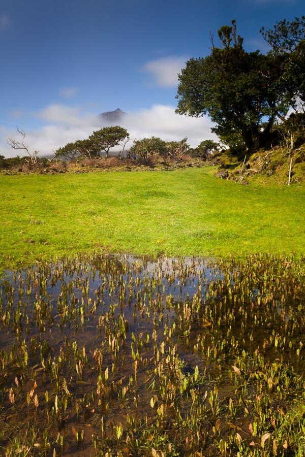 Weiden von den Azoren stockfoto